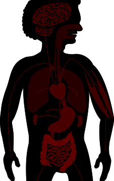 Diagram of the Male body organs